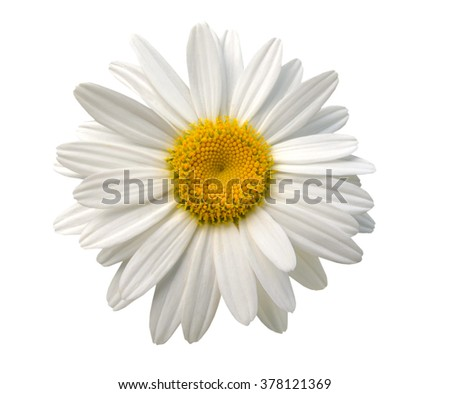 An isolated chamomile flower - stock photo