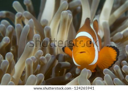 An isolated clown fish looking at you in Cebu Philippines - stock photo