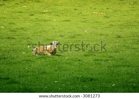 An Isolated cow in the green meadow