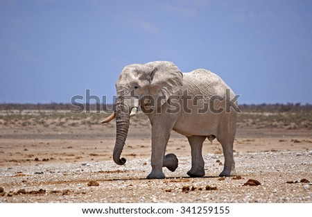 An isolated elephant standing on the etosha plains with a vibrant blue sky and dusty dry plains