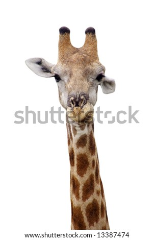 an isolated giraffe looking straight into the camera