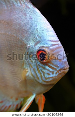 An isolated head shot of a Blue Diamond Discus Fish - Symphysodon Aequifasciatus on a black background - stock photo