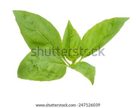 An isolated herbal basil on white