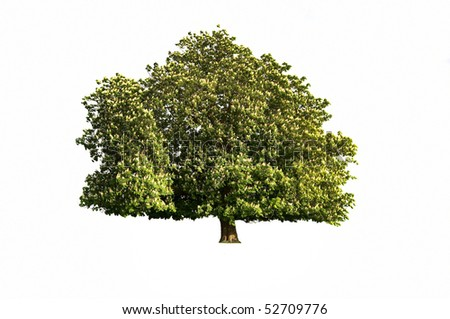 An isolated horse chestnut tree in flower - stock photo