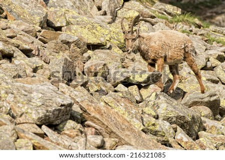 An isolated ibex deer long horn sheep close up portrait on the brown and rocks background in Italian Dolomites - stock photo