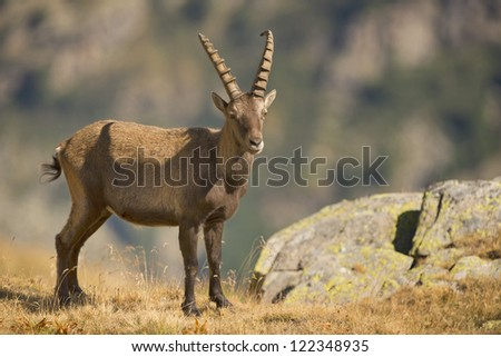 An isolated ibex long horn sheep close up portrait on the brown background - stock photo