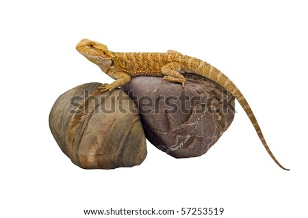 an isolated image of a bearded dragon (pogona vitticeps)  sandfire x citrus sitting on top some rocks basking.