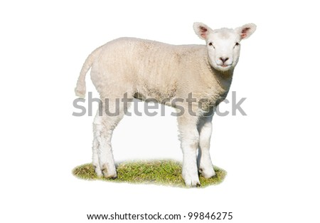 An isolated lamb on a patch of grass - stock photo