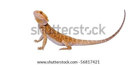 an isolated landscape portrait of a bearded dragon (pogona vitticeps) - stock photo