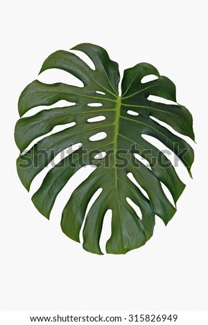 an isolated leaf of split leaf philodendron, monstera deliciosa - stock photo