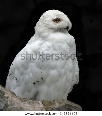An isolated male of snow owl on black background