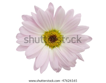 an isolated opening daisy on white background
