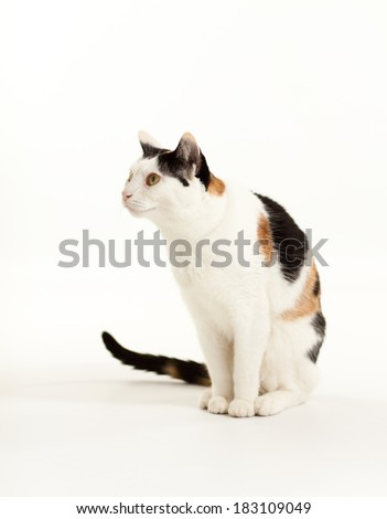 An isolated photo of a calico cat.  - stock photo