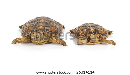 an isolated photo of two tortoises sitting next to each other