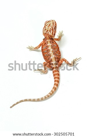 an isolated portrait of a bearded dragon