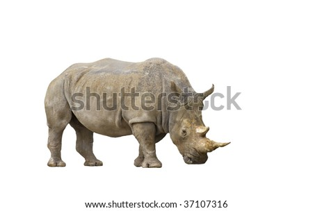 An isolated portrait of an adult rhinoceros
