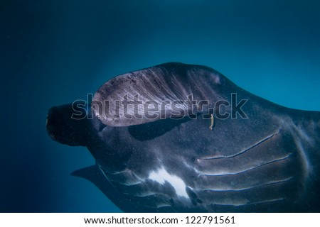 An isolated very rare Black Manta in the blue background - stock photo