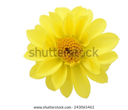 An isolated yellow dahlia flower - stock photo