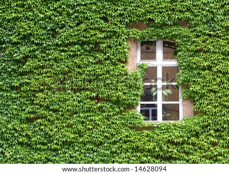 an ivy covered wall with a window - stock photo
