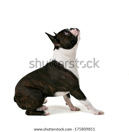 an obedient boston terrier looking up - stock photo