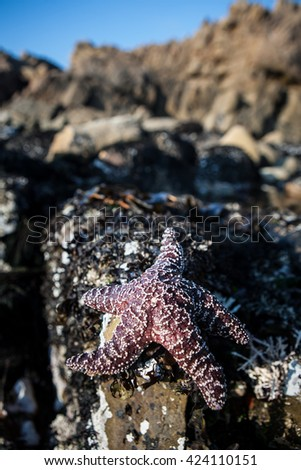 An Ochre seastar (Pisaster ochraceus) preys on barnacles and mussels in a tide pool found on the Sonoma coast north of San Francisco in California.