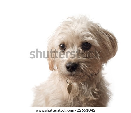 An off-white terrier sitting with a heart shaped tag and a white background.