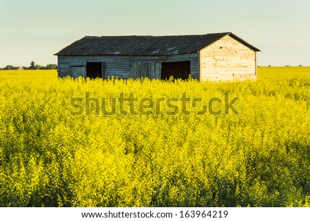 An old abandoned building in a ripe yellow canola field
