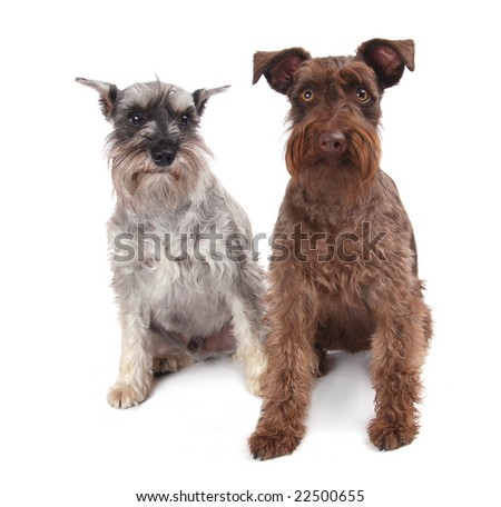 An old and a young schnauzer on white background. - stock photo
