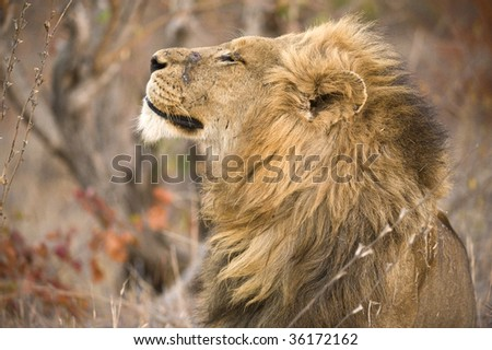 An old and battle scarred lion looks proudly over his territory - stock photo
