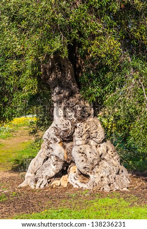 an old and very big, twisted olive tree trunk - stock photo