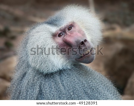 An old baboon at the zoo for different uses - stock photo