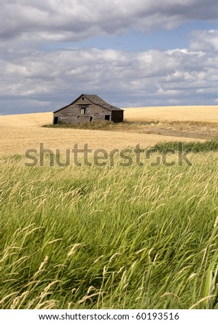 An old barn sits in a field filled with crops in the palouse region of eastern Washington. - stock photo