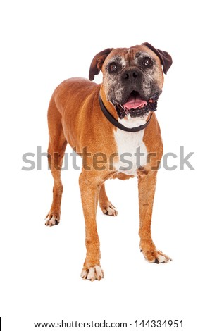 An old Boxer dog standing against a white backdrop.