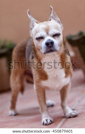 An old chihuaqhua enjoying the day - stock photo