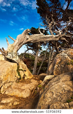 An old cypress distorted by the wind curves over a rocky path - stock photo