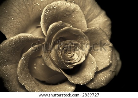 An old-fashioned rose close up, wet with water drops