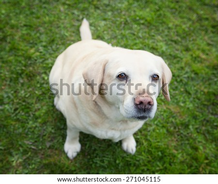 An old  golden labrador retriever sitting on grass looking at you - stock photo