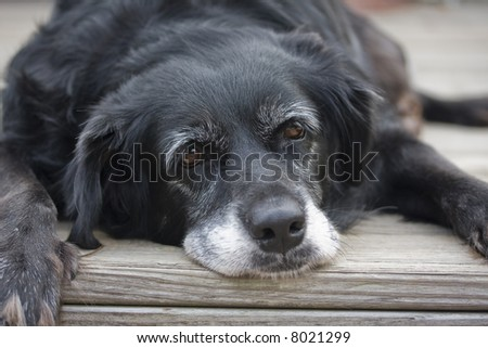 An old lazy mixed breed dog prepares to nap. - stock photo