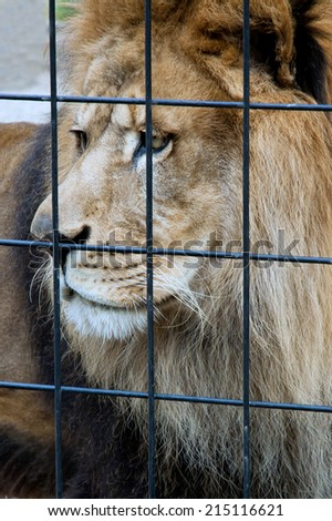 An old lion sits sadly looking out the bars of his cage in a zoo. - stock photo