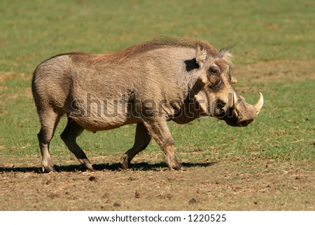 An old male warthog (Phacochoerus africanus), South Africa
