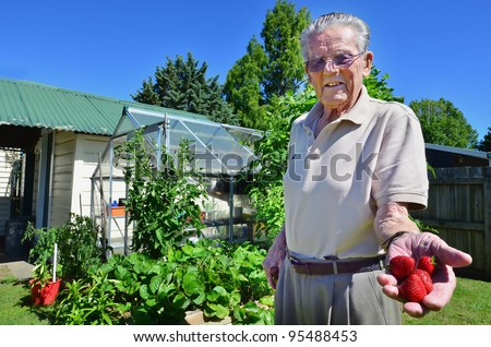 An old man holds fresh organic strawberries growing on his garden.