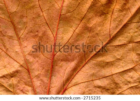 An old preserved dead brown ivy leaf close up background.