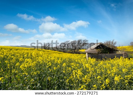 An old ruined stone shed in a field of rapeseed