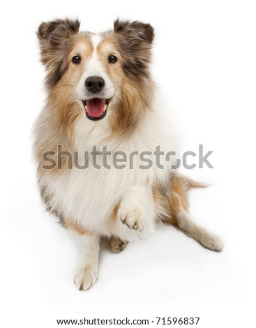 An old Shetland Sheepdog with paw out to shake your hand. Isolated on white