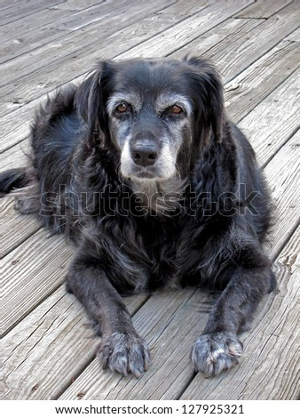 An old, sickly Dog, resting.  Mixed large breed elderly Dog.  This photo was taken near the end of a Dog's life, as it was very ill, swollen, and old. - stock photo