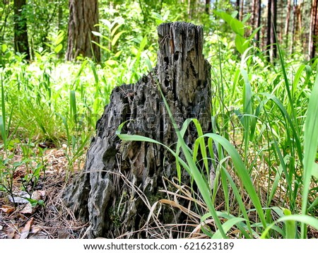 An old stump in the forest often. Summer, sunny day. Ural, Russia