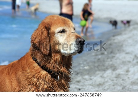 An Older Golden Retriever Enjoying the Sun at the Beach - stock photo