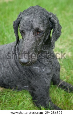 An older, male blue standard poodle sits in the bright summer grass. - stock photo