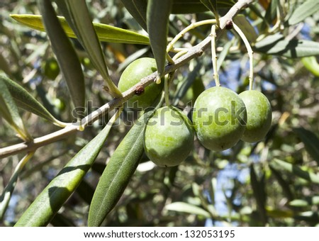 An olive branch with four premium olives and leaves