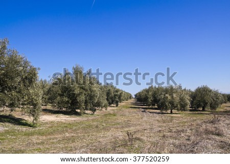 an olive grove in Sevilla. Andalusia zone, Spain. - stock photo